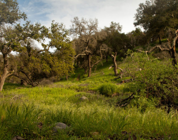 Oak Woodland Restoration in the Ventura Hillsides